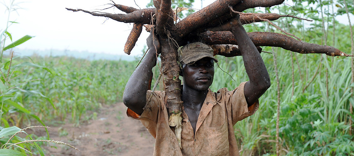 A farmer carries a bunch of harvested cassava roots—one of Nigeria's main crops—through a field in Osun State. August 26, 2010, Oshogbo, Nigeria. (Pius Utomi Ekpei/AFP/Getty Images)